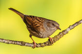 Dunnock, Prunella modularis — Stock Photo