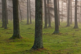 European larch forest — Stock Photo