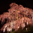 Illuminated cherry tree in Fukushima, Japan - Stock Photo
