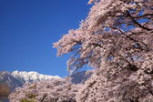 Cherry tree and snowy mountain — Stock Photo