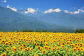 Sunflower field and mountain — Stock Photo