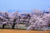 Cherry blossoms and Mt.Yatsugatake — Stock Photo