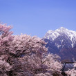 Cherry tree and snow mountain — Stock Photo