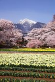 Cherry tree and narcissus field — Stock Photo