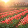 Stock Photo: Morning sun Tulips and cherry tree