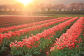 Morning sun Tulips and cherry tree — Stock Photo