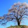 Weeping cherry tree — Stock Photo #24629411