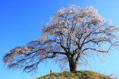 Weeping cherry tree — Stock Photo