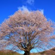 Cherry tree and blue sky — Stock Photo #24917791