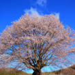 Cherry tree and blue sky - Stock Photo
