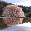Cherry tree reflection in water - Stock Photo
