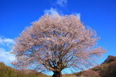 Cherry tree and blue sky — Stock Photo
