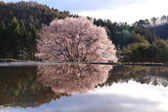 Cherry tree reflection in water — Stock Photo