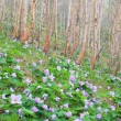 Glaucidium palmatum and White birch — Stock Photo #26400425