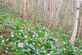 Glaucidium palmatum and White birch — Stock Photo