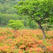 Japanese azalea of plateau — Stockfoto