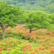 Japanese azaleof plateau — Stock Photo #27395909