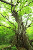 Primeval forest of Chestnut tree — Stock Photo