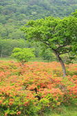 Japanese azalea of plateau — Stock Photo