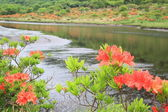 Japanese azalea whith marshland — Stock Photo