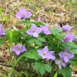 Glaucidium palmatum — Stock Photo #28183395