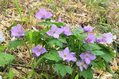 Glaucidium palmatum — Stock Photo
