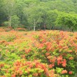 Stock Photo: Japanese azalea of plateau
