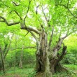 Primeval forest of Chestnut tree — 图库照片