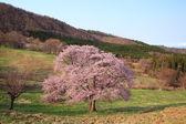 Prunus sargentii — Stok fotoğraf