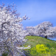 Stock Photo: Cherry tree on hill