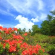Stock Photo: Japanese Azalea