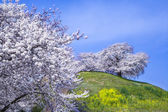 Cherry tree on the hill — Stock Photo