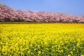 Rape blossoms and cherry tree — Stock Photo