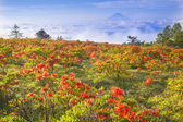 Japanese azalea with Mt. Fuji — Stock Photo