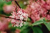 Syringa vulgaris - Lilac flower — Stock Photo