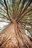 Sequoia treefrom below — Stock Photo