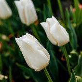 Tulipán blanco sensual — Foto de Stock