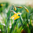 Yellow narcissus in park — Stock Photo