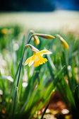 Giallo Narciso nel parco — Foto Stock