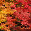 Colorful autumn maple trees — Stock Photo