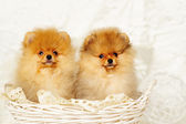 Spitz dog puppies — Stock Photo