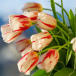 Red and white beautiful tulips closeup — Stock Photo