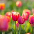 Tulips flowerbed background — Stock Photo #43249669