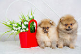 Couple of cute spitz puppies — 图库照片