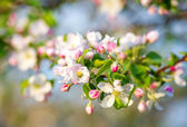 Apple tree spring blossom — Stock Photo