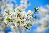 Blooming cherry tree branch — Stock Photo