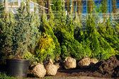 Trees in the evergreen nursery garden — Stock Photo