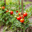 Tomatoes growing on the branches — Stock Photo #50979899