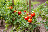 Tomatoes growing on the branches — Stock Photo
