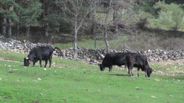 Three bulls — Stock Video